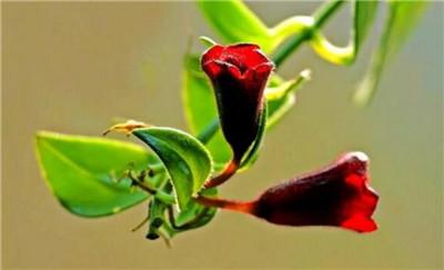 口红吊兰的养殖方法