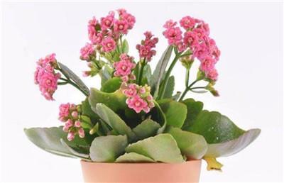 长寿花的繁殖方法