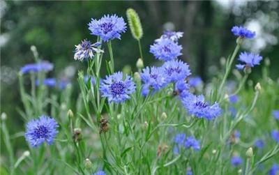 蓝色矢车菊