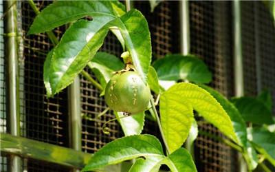 西番莲种植技术