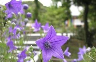 紫斑风铃草