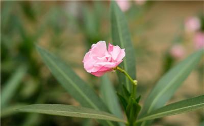 夹竹桃的花语