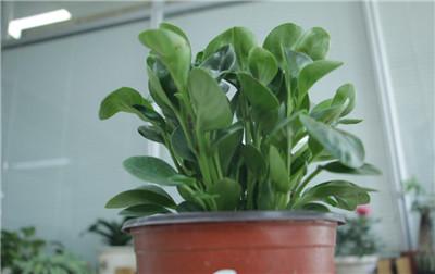 豆瓣绿图片