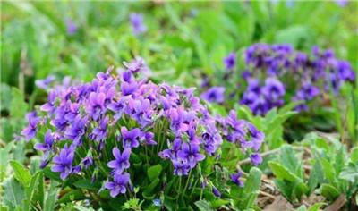 紫花地丁花期早且集中;植株低矮,生长整齐,株丛紧密,便于经常更换和移栽布置,所以适合用于花坛或早春模纹花坛的构图。紫花地丁返青早、观赏性高、适应性强可以用种子进行繁殖,作为有适度自播能力的地被植物,可大面积群植。开出满盆娇嫩的花朵,用于窗台、书桌、台架等室内布置,也可制作成盆景。