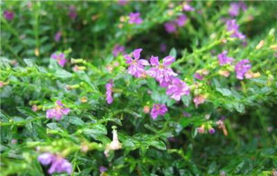 细叶萼距花