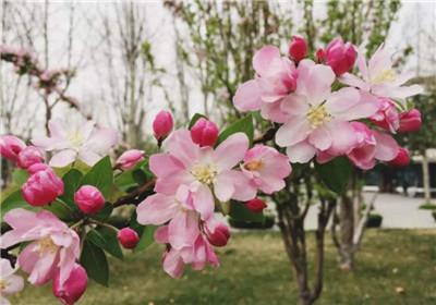 西府海棠图片